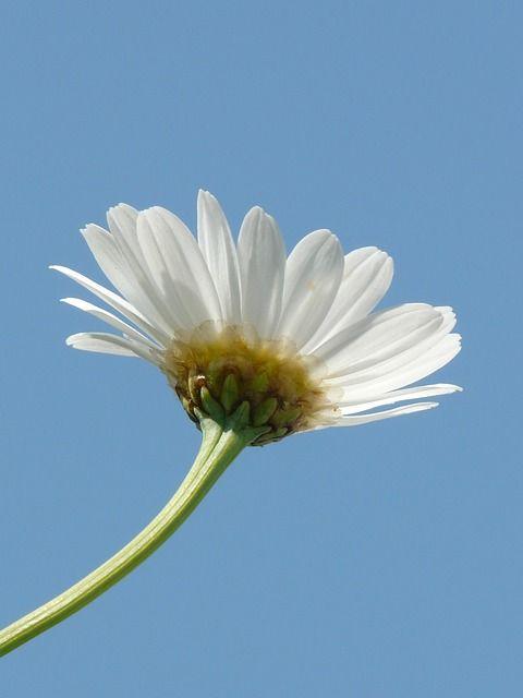 Image Gratuite Sur Pixabay Marguerite Fleur Fleur Pinterest