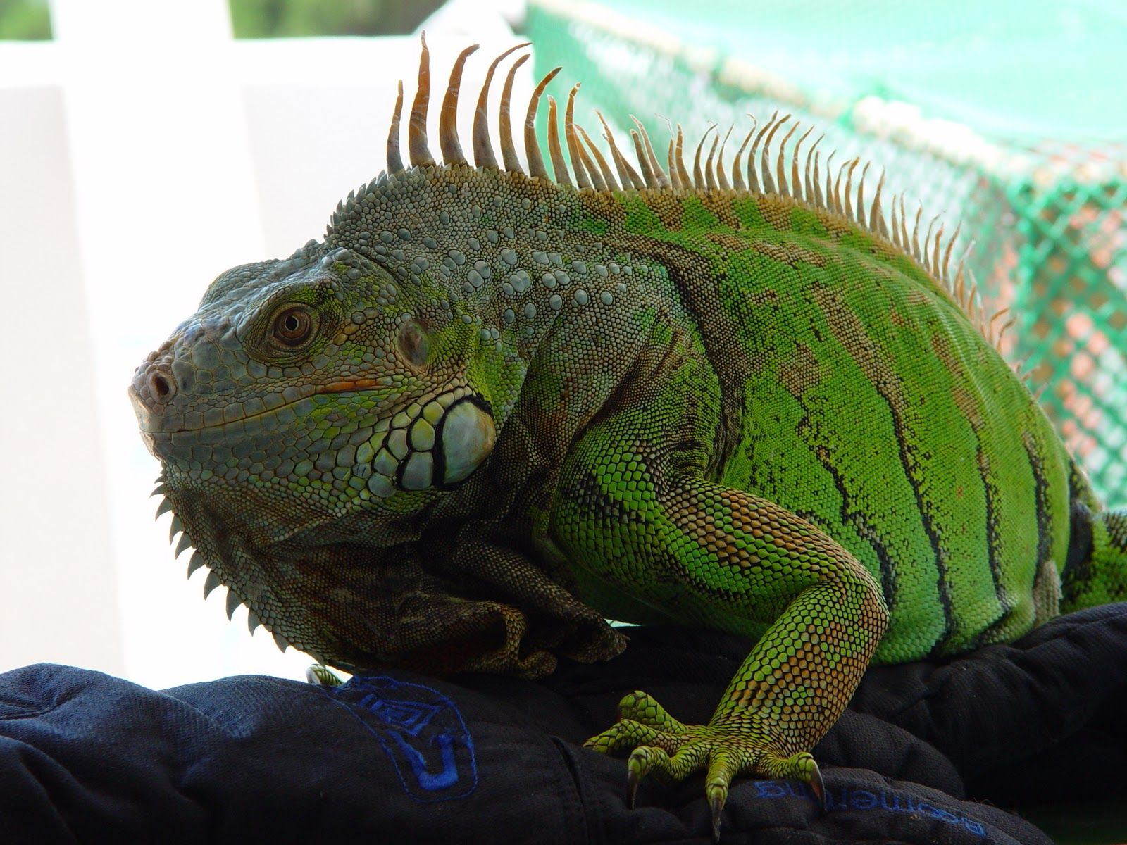 12 Fascinating Animals That Start With Letter I And Their Features Pet Lizards Green Iguana Lizard