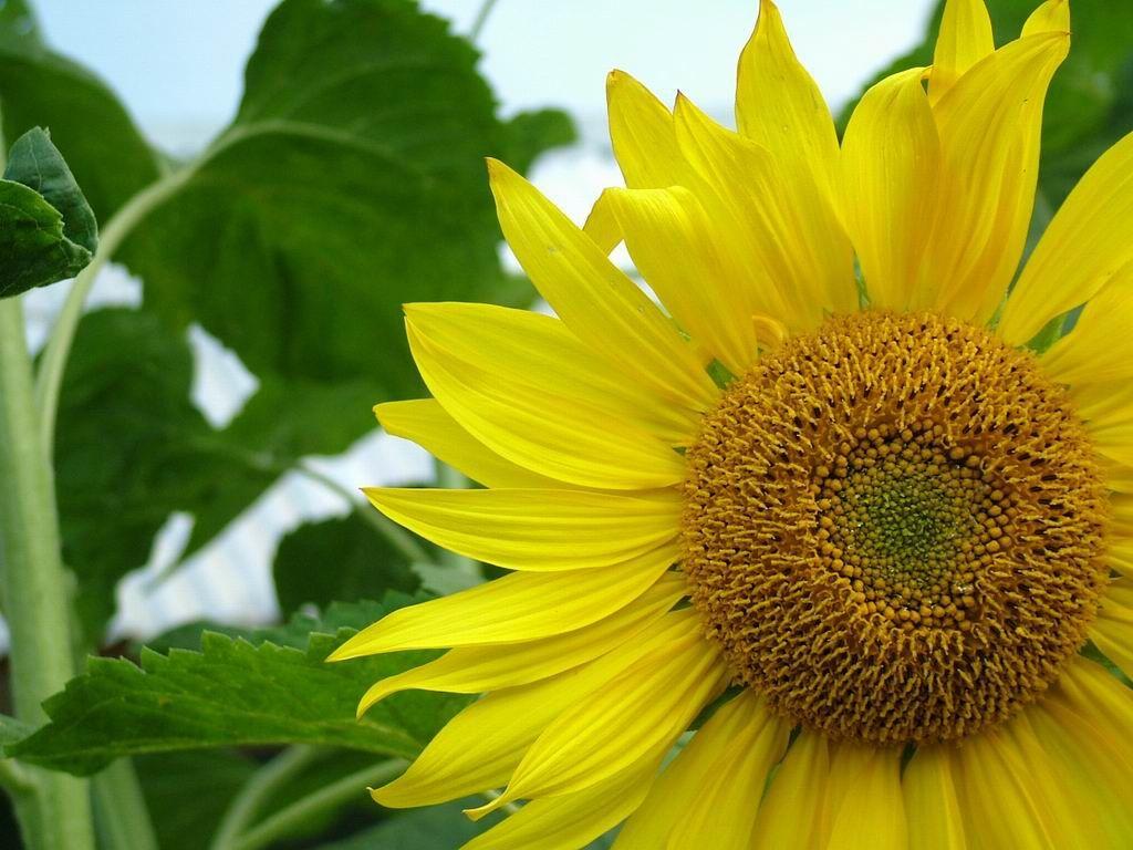 Darmowe Tapety Na Pulpit Komputera Sloneczniki Http Wallpapic Pl Przyroda Sloneczniki Wallpaper 1044 Planting Herbs Sunflower Pictures Sunflower Wallpaper
