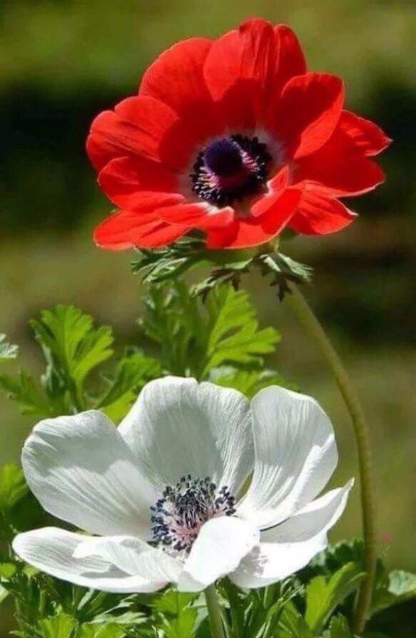 Premsaral Source Somethings To Say Beautiful Flowers Poppy Flower Pretty Flowers