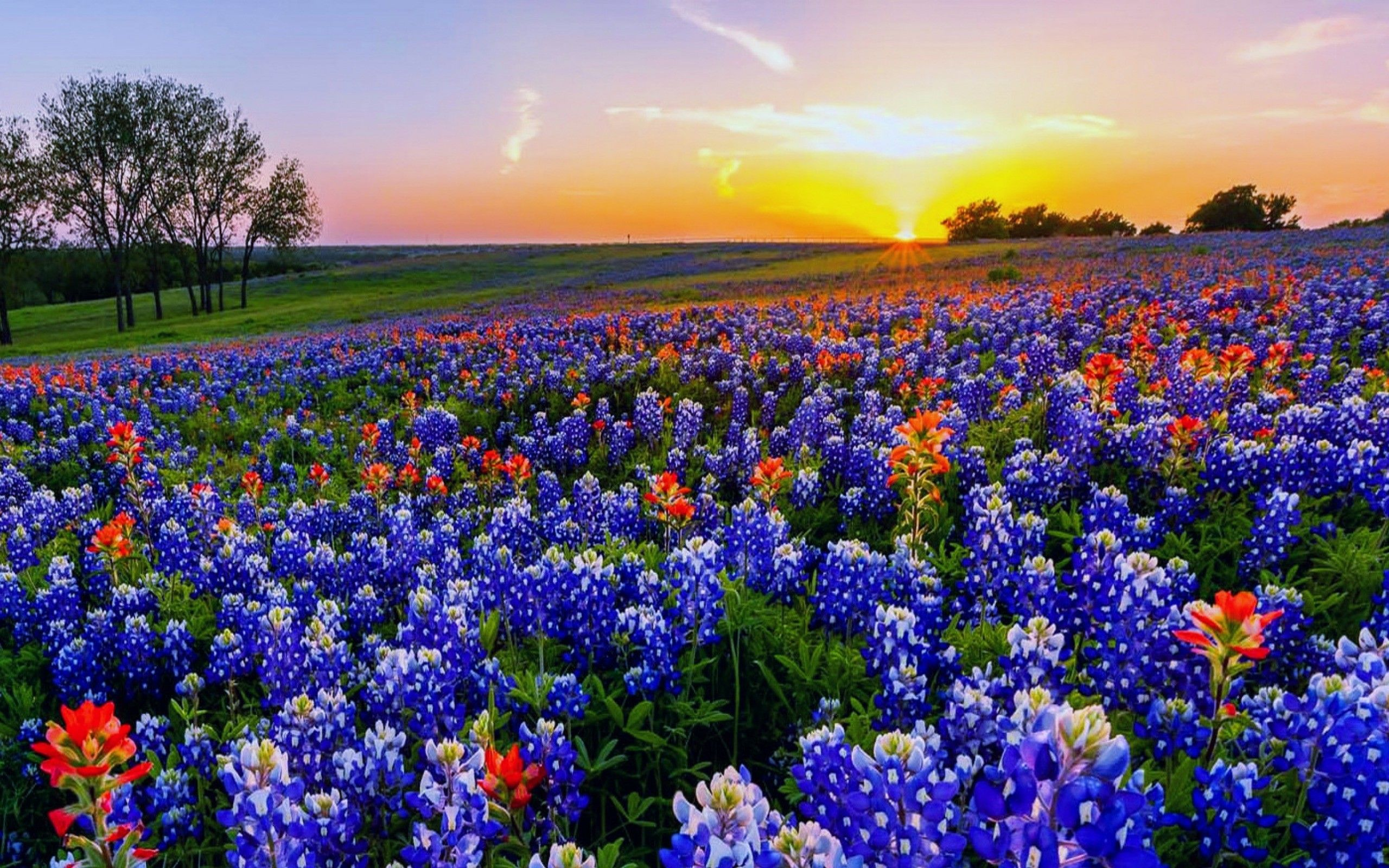 Texas Bluebonnets Wallpaper 3 - 2560 X 1600 | stmed.net