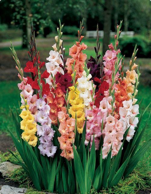 Gladiolus With Images Bulb Flowers Gladiolus Flower Planting Flowers
