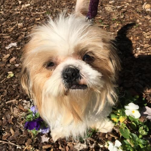 Mukwonago Wi Shih Tzu Meet Bailey Boy A Dog For Adoption