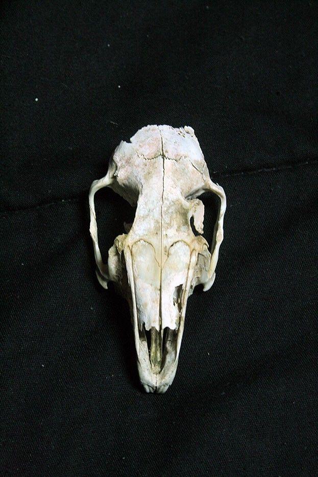 Hare real skull Real bone Rabbit real skull