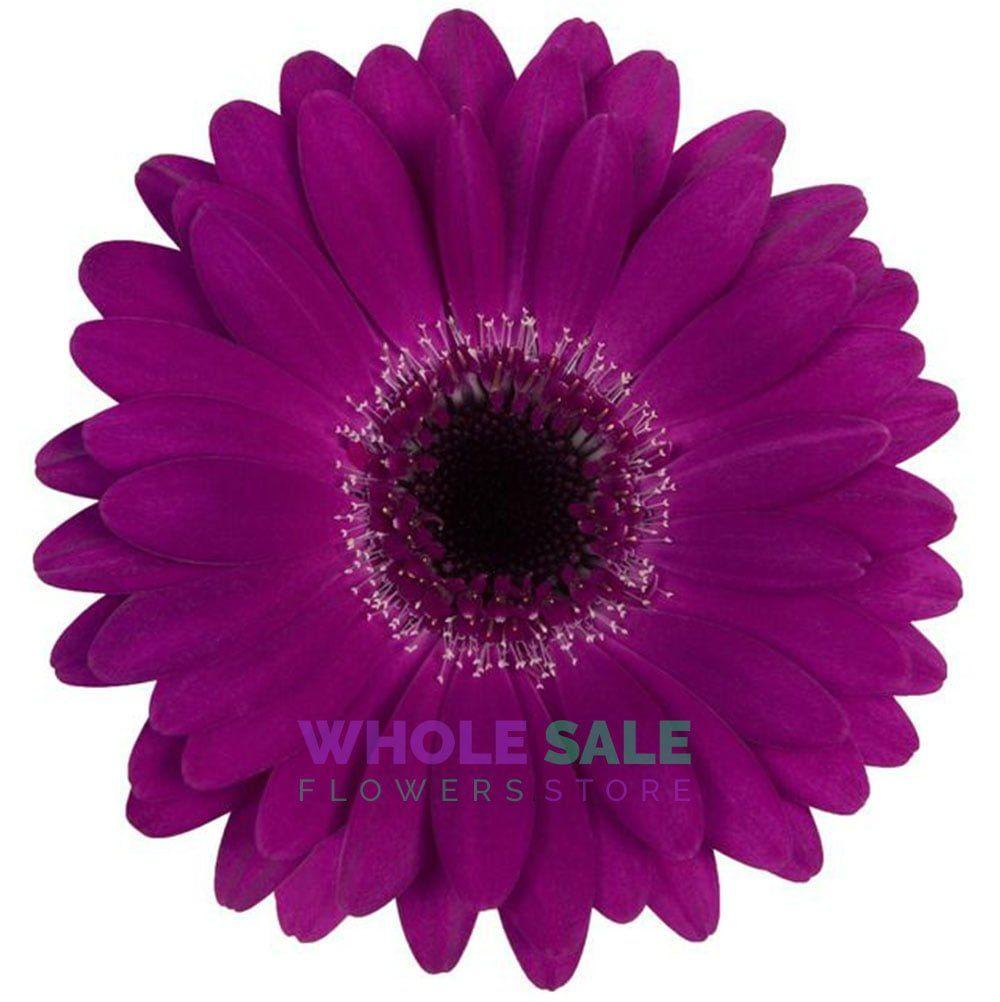Purple Gerbera Daisies Wholesale Flowers Store Gerbera Daisy Gerbera Wholesale Flowers