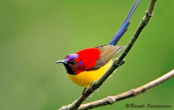 photo source The sunbirds and spiderhunters make up a family, Nectariniidae, of very small passerine birds. There are 132 species in 15 genera. The family is distributed throughout Africa, the Indian subcontinent, Southeast Asia and...