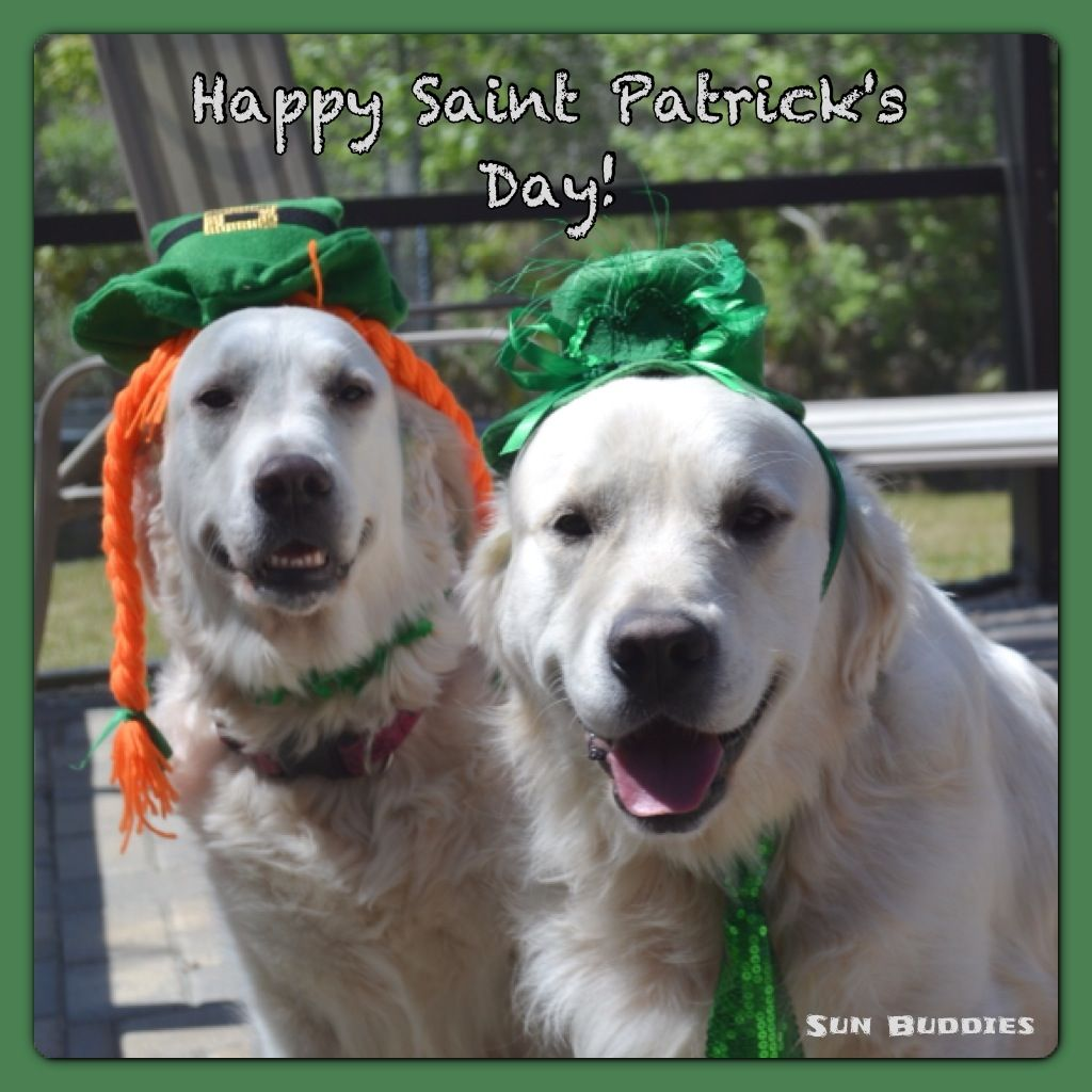 English Cream Golden Retriever Puppies Happy St Patricks Day