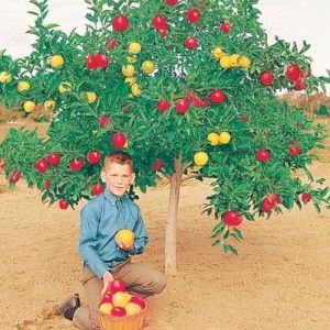 5 N 1 Dwarf Grafted Apple Tree 3 X2 Box Imagine 5 Different Varieties Of Full Sized Apples Growing On One Fruit Cocktail Tree Dwarf Fruit Trees Apple Tree