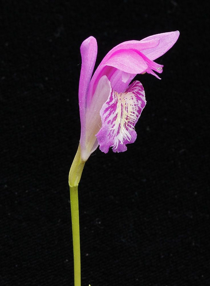 Top 10 Rarest Orchids In The World Rare Orchids Rare Flowers Orchid Flower