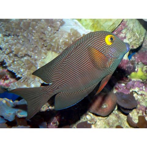 Kole Yellow Eye Tang Ctenochaetus Strigosus With Images Marine Aquarium Fish Fish Marine Aquarium