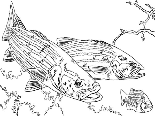 Bass Fish Chasing Little Fish Coloring Pages Best Place To Color Fish Coloring Page Coloring Pages Little Fish