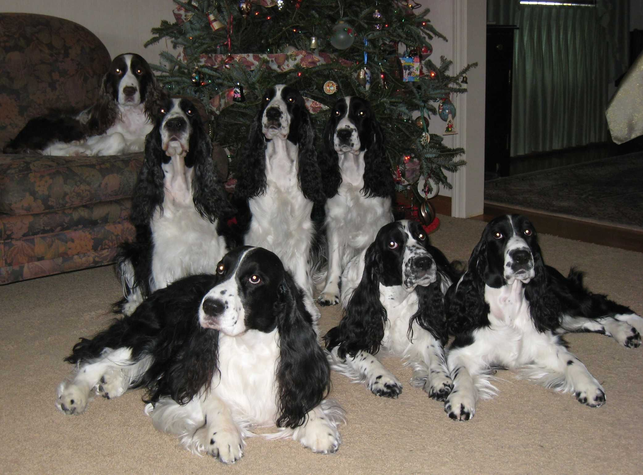 That S A Lot Of Springer S English Spaniel Springer Spaniel Spaniel