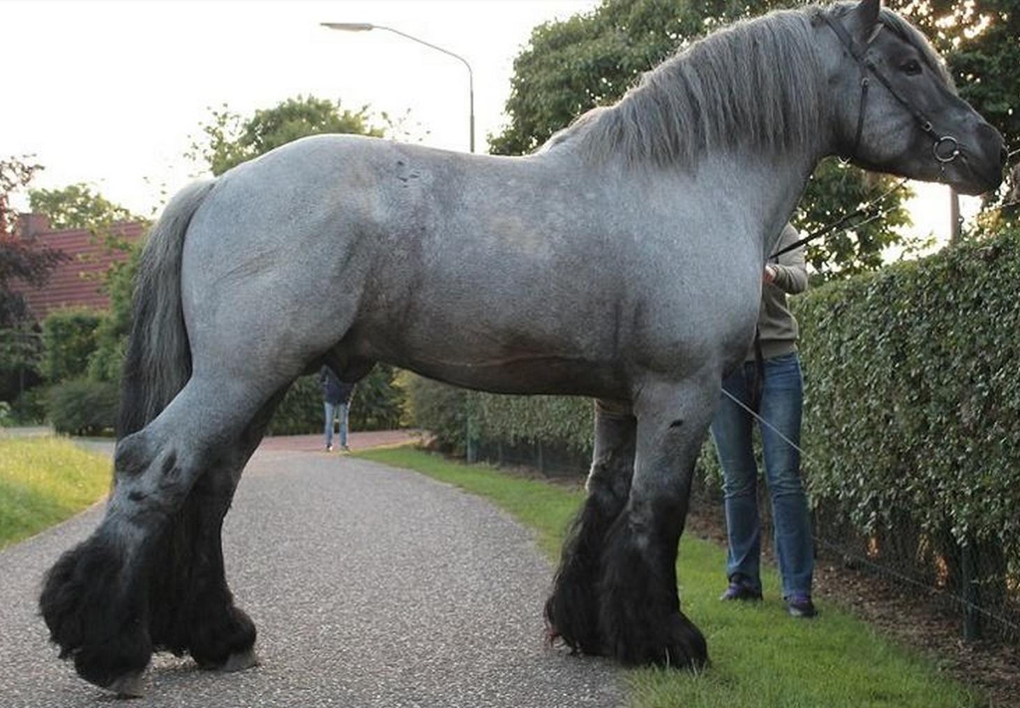 Whoa! Big horse peeking over the tall hedge. Dutch draft