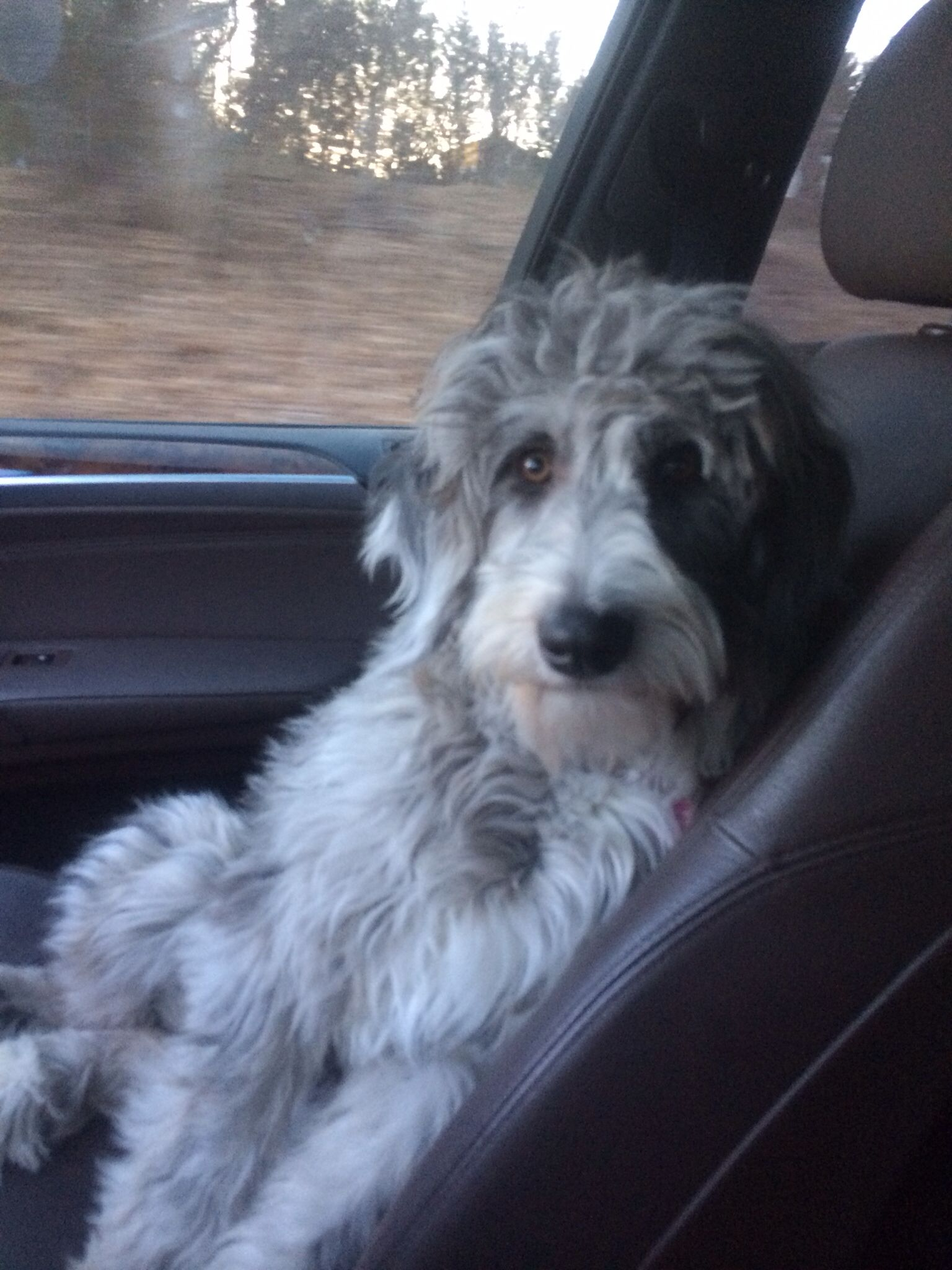 Aussiedoodle Natural Look Haircut Dogs Puppies Dogs
