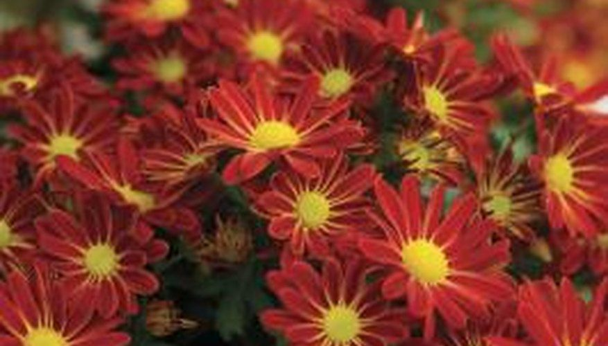 When Can You Split Mums In 2020 Hardy Mums Garden Mum Plant Hardiness Zone