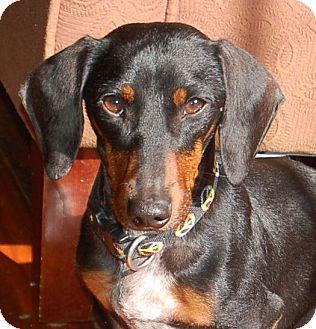 Metairie La Dachshund Meet Skip A Dog For Adoption Dog Adoption