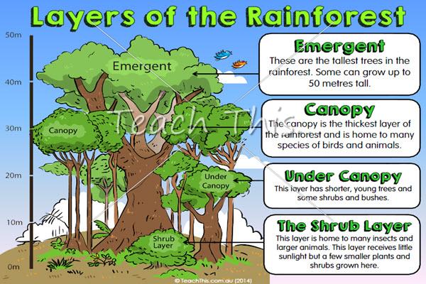 Rainforest Layers Poster Rainforest project, Rainforest