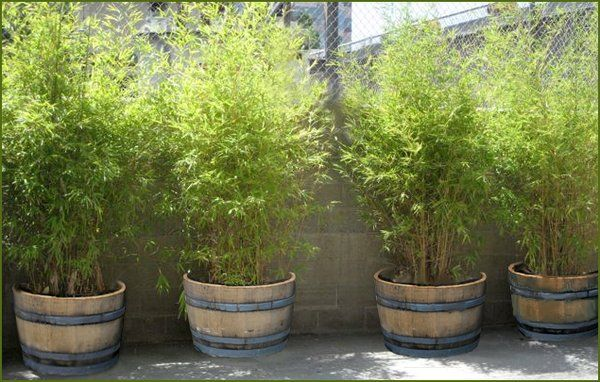 Use Wine Barrel Planters To Make A Perfect Bamboo Screen Patio