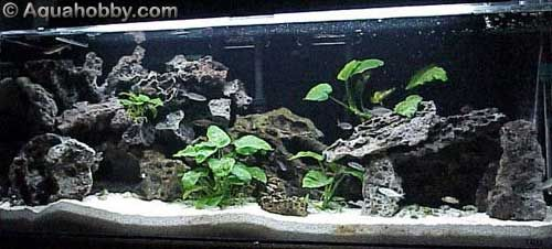 African cichlid tank profile aquariums pinterest for African cichlid rock decoration