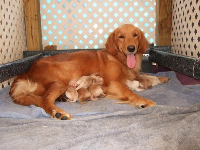 Barbsgoldens Akc Golden Retriever Puppies For Sale Georgia Golden Retriever Retriever Puppy Puppies For Sale