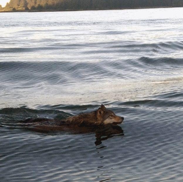 Wolf swimming in Kyuquot Sound, British Columbia AYA