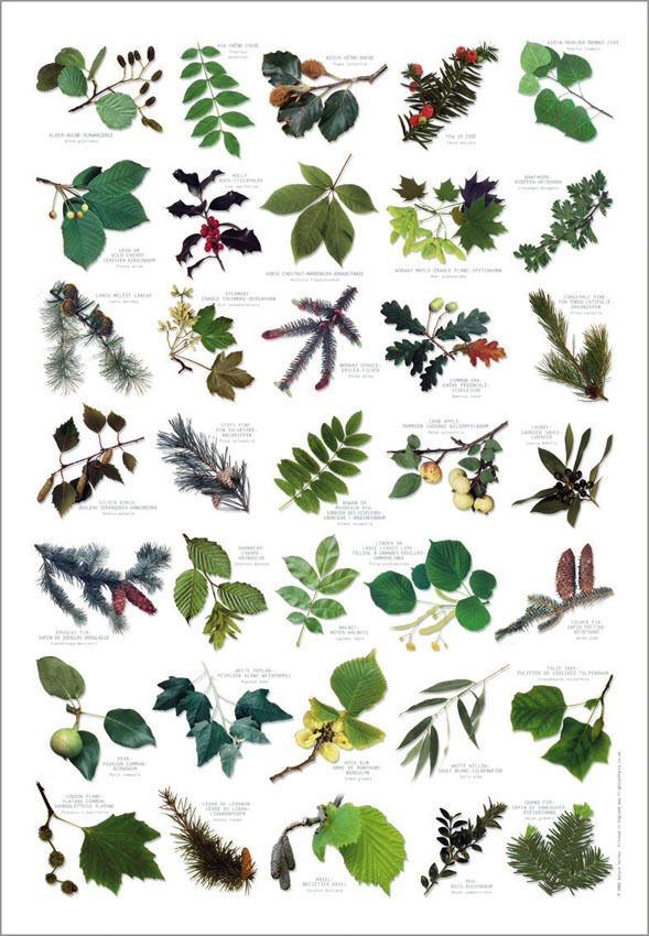 British tree leaves identification chart nature poster for Garden trees types