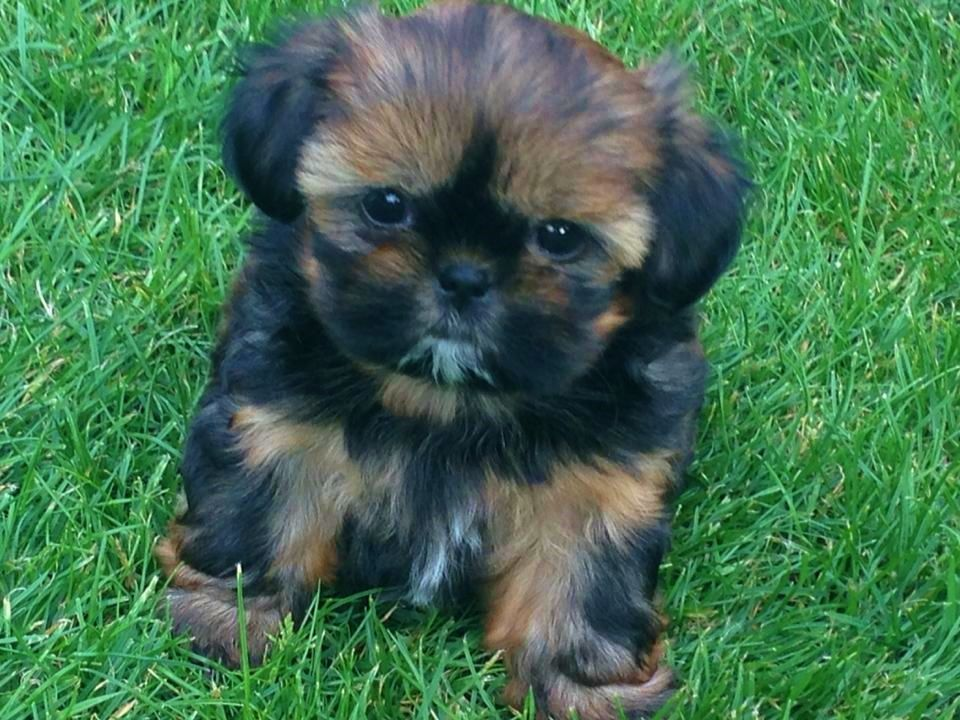 Tiny Imperial Shih Tzu female puppy for sale Shih tzu