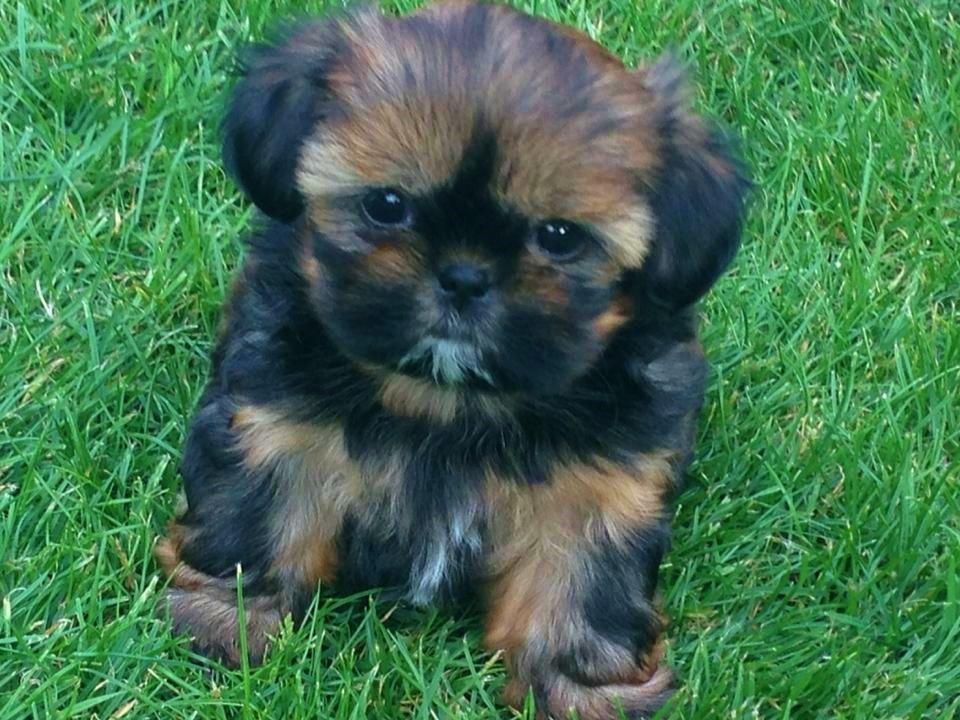 Tiny Imperial Shih Tzu female puppy for sale Shih tzu