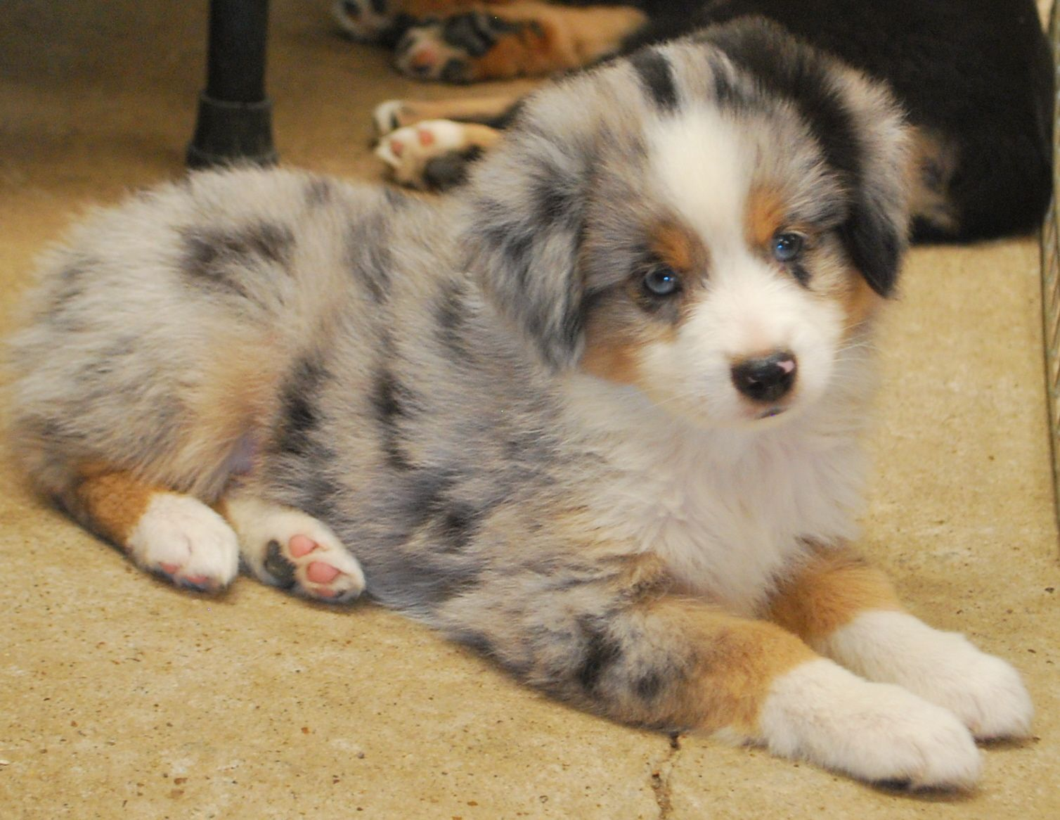 What a cute Miniature Australian Shepherd puppy from