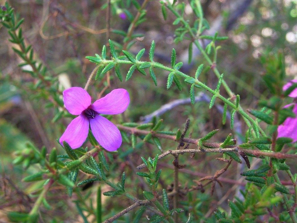 Tetratheca Ericifolia Flower Essences Pinterest