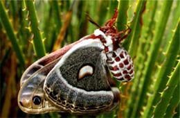 Hyalophora cecropia - Cecropia Moth