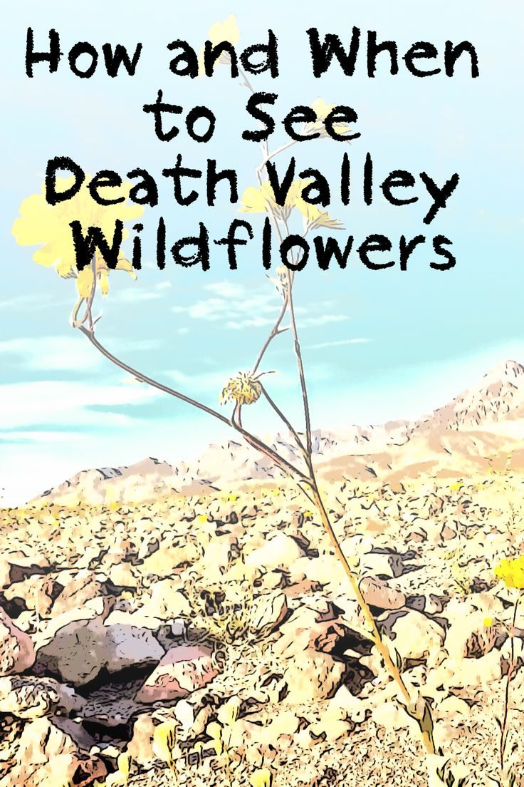 What you need to know about Death Valley wildflowers- when they bloom and when they don't.
