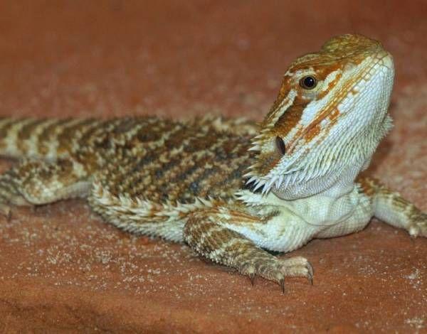 Do Bearded Dragons Need Heat At Night Bearded Dragon Bearded Dragon Funny Pet Dragon