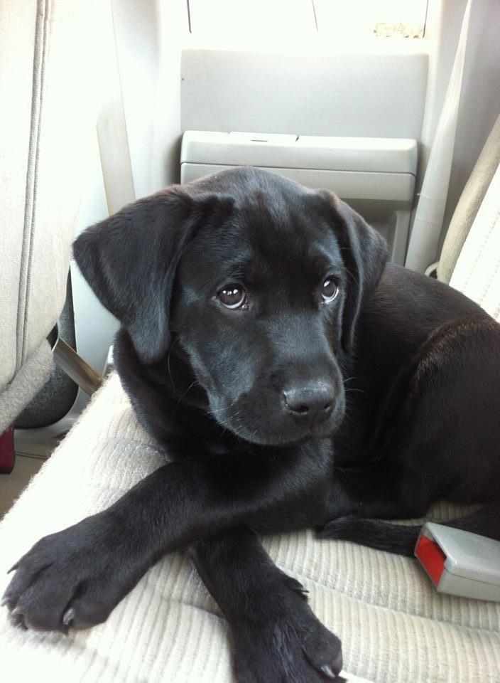 Cute Black Lab Puppy Face Perros Animales Adorables