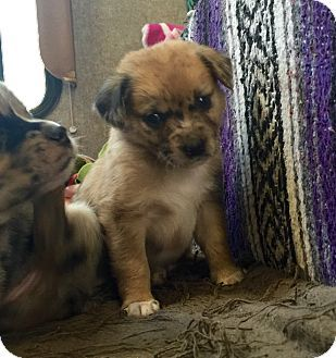 Waterbury Ct Australian Shepherd Border Collie Mix Meet Bitsy A Puppy For Adoption Puppy Adoption Australian Shepherd Puppies
