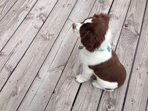springer puppy idaho $200 | English Springers | Springer