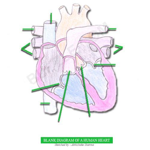 Human Heart Diagram Blank School  Science, Anatomy Pinterest