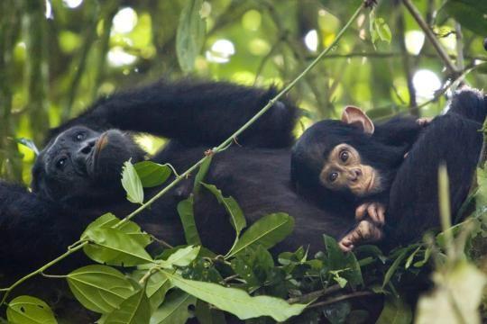 Schimpansen können oft bis zu ihrem Lebensende Nachwuchs bekommen