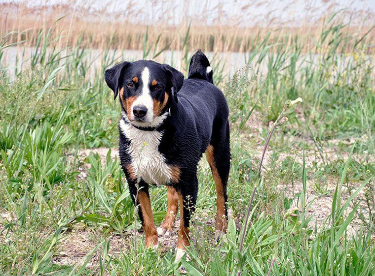 Appenzeller Sennenhund Im Rasseportrait Appenzeller Hund