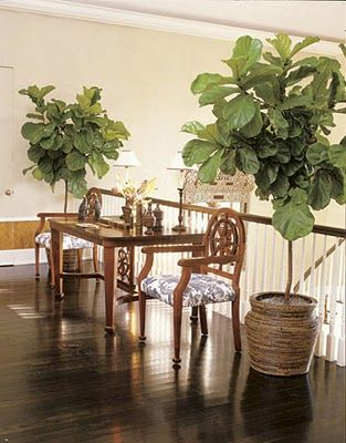 Fiddle leaf fig tree--I need some indoor plants! | Home ...