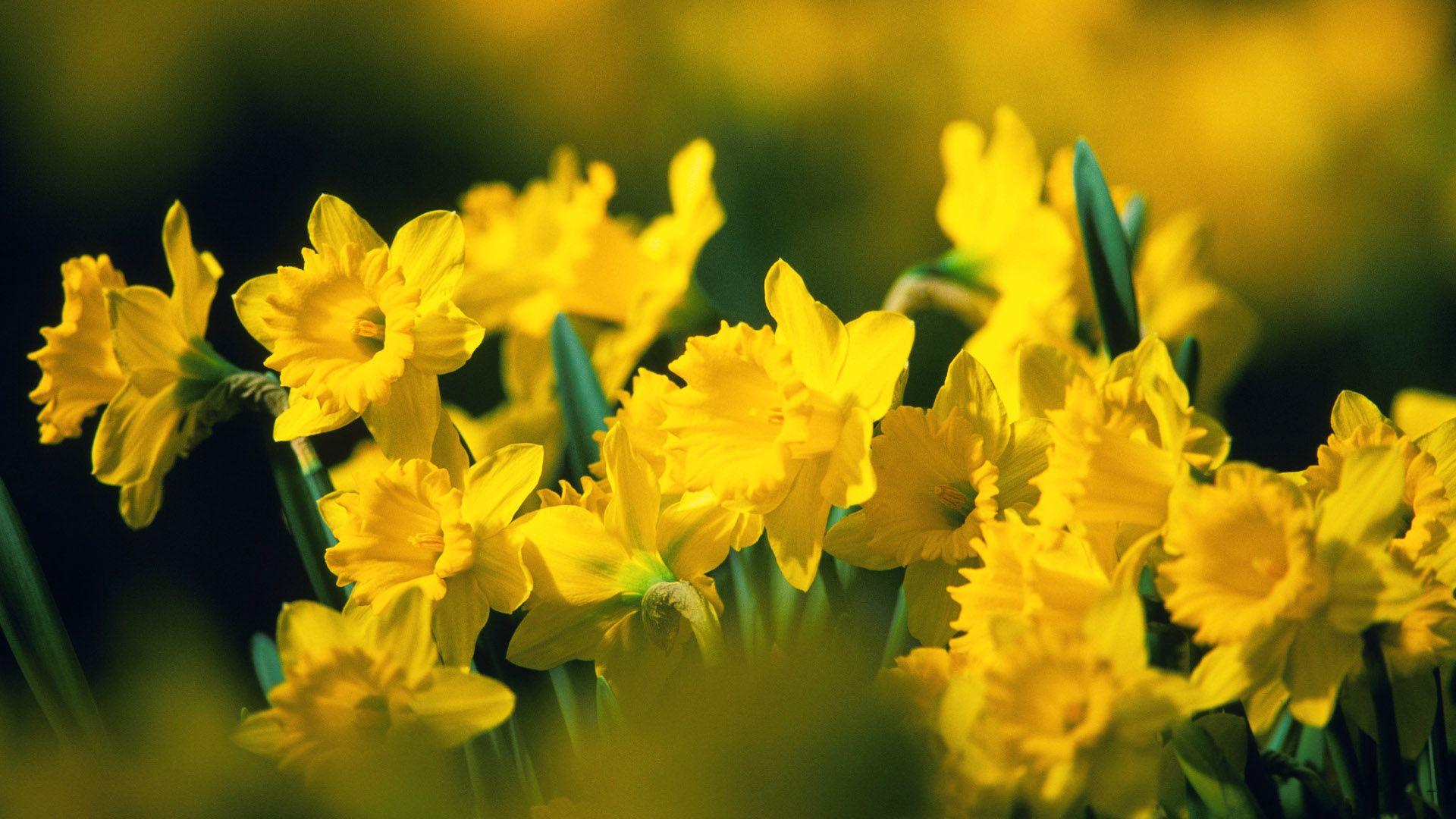 Hd wallpaper yellow flowers - Gorgeous Yellow Flowers Wallpaper