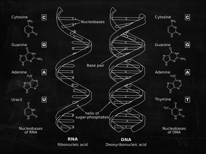 Structural differences between DNA and RNA DNA, or deoxyribonucleic - new molecular blueprint definition