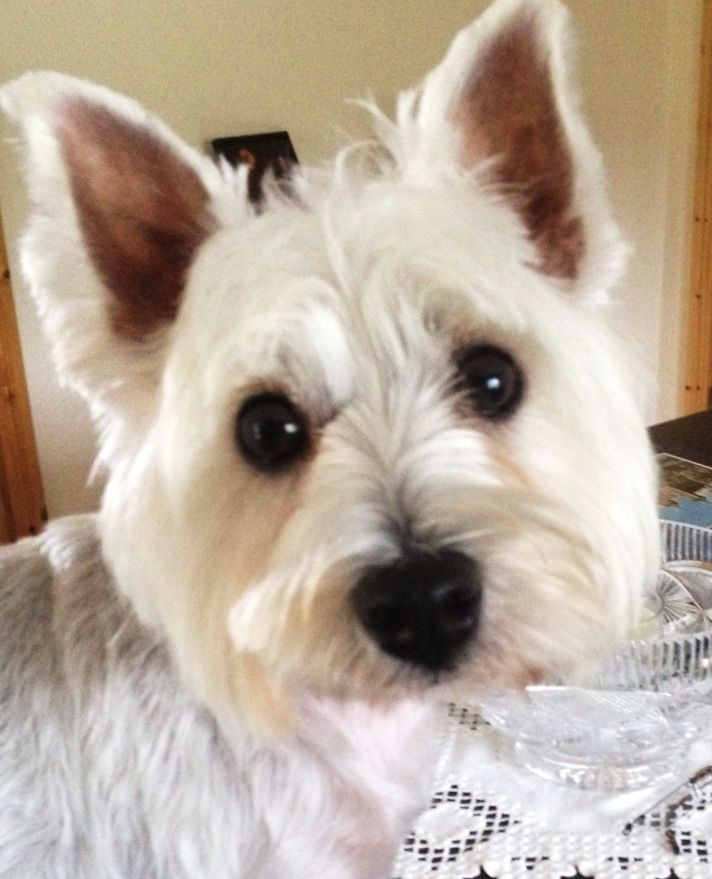 Gaga Lives In Ballyhooly County Cork Westies Puppies The Rock