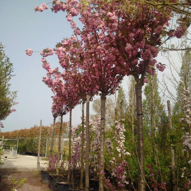 Prunus Serrulata Kanzan Standard Tree Cherry Trees Garden Garden Trees Prunus Serrulata