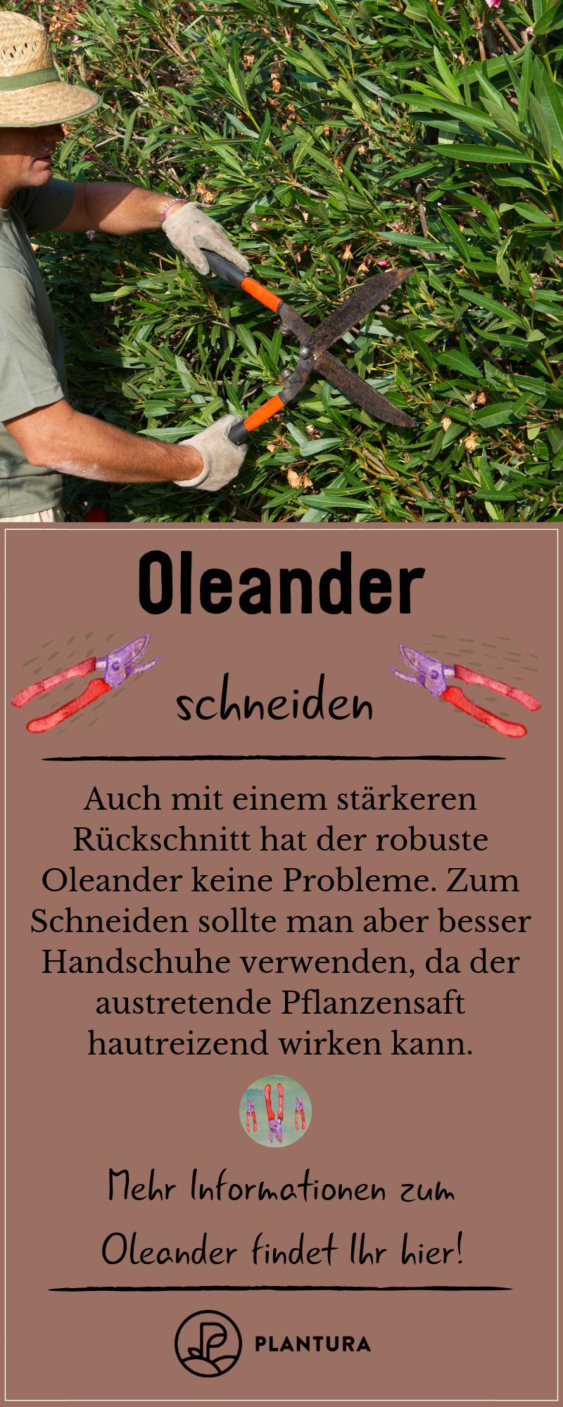 Oleander: Experten-Tipps zum Pflanzen, Schneiden, Überwintern & Co - Plantura