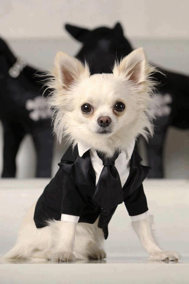 Black And White Cute Chihuahua Chihuahua Love Chihuahua Puppies