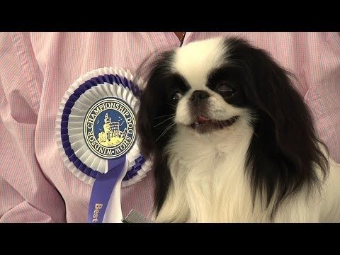 Hi guys! I received a request to make a grooming video on my Japanese Chin, Cupcake. He is not in full coat, so the steps I do are a little different than if...