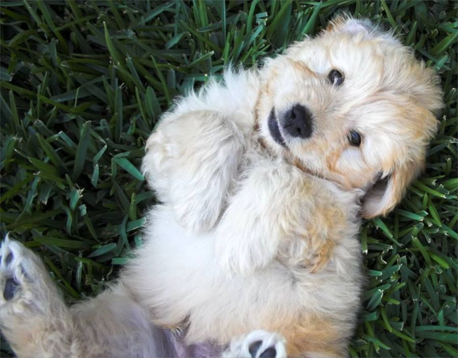 poodle golden retriever mix! For the Home Pinterest