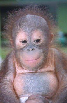 Sweet baby Orangutan! Coincidentally the same look i get