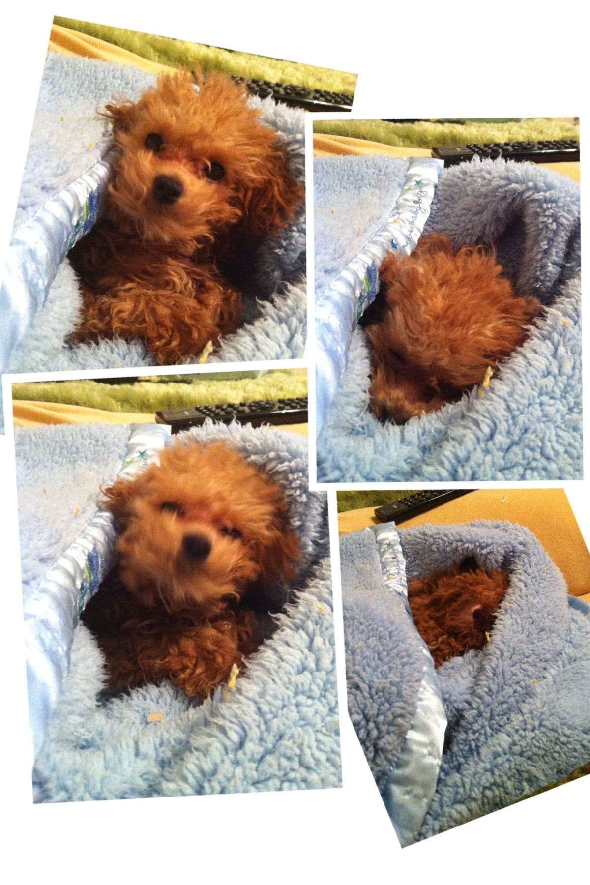 Toy poodle cutest puppy ever dogs pinterest poodle dog and